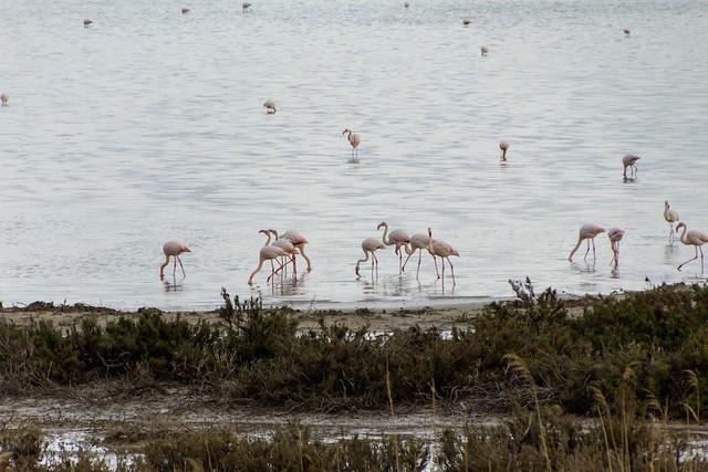Flamingos near the shore at the Laguna de Fuente de Piedra