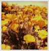 California Poppies 2 by tobysx70