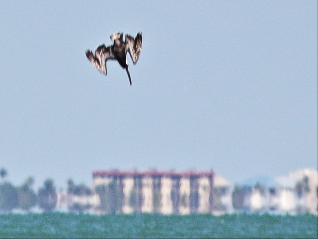 Pelican Dive sequence 4-20140423