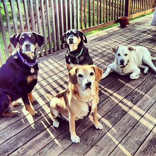 Lola, Tut, Sophie & Zeus say Good Morning IG! #dogstagram #ilovemydogs #love #mutt #dobermanmix #houndmix #labmix