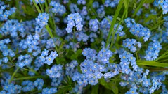 flower, plant, herb, flora, forget-me-not, meadow,