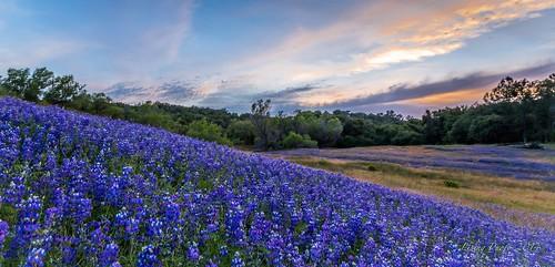california sunset wild usa cloud lake flower color spring purple hiking folsom lupine 2014 canon5dmarkiii 1636mmlii