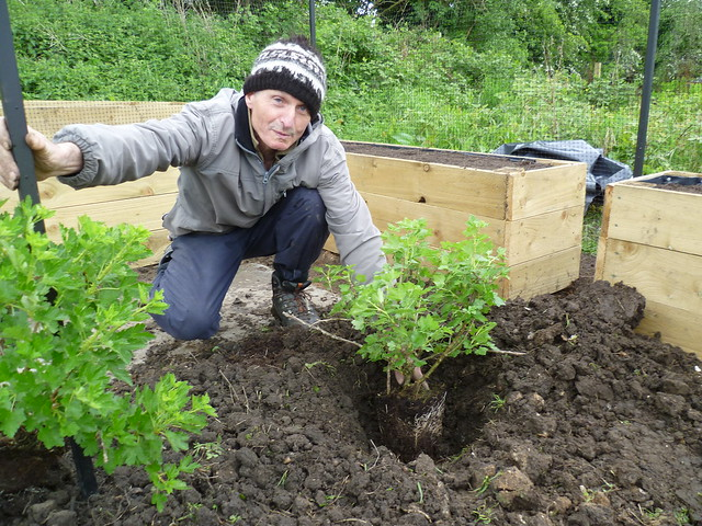 First gooseberry bush being planted