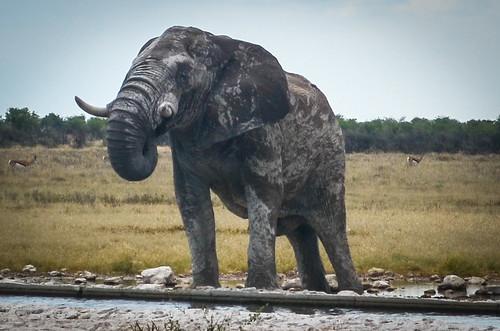 Elephant drinking water, Etosha NP