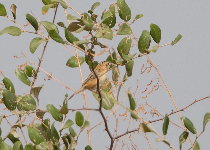 Zitting Cisticola  Gambia