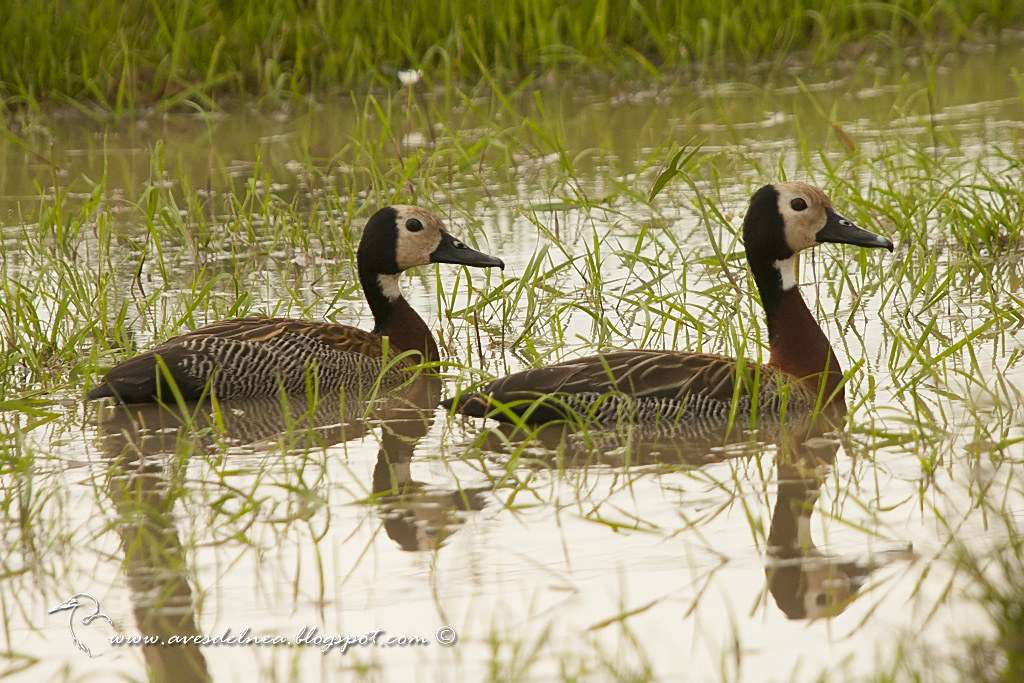 Sirirí pampa (White-faced whistling-Duck) Dendrocygna viduata