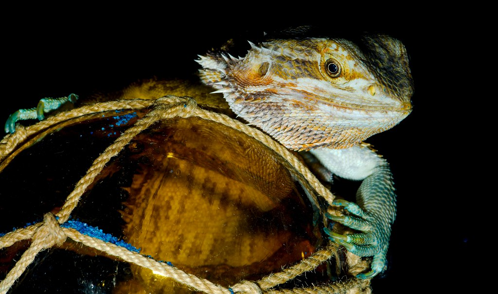 Bearded Dragon (Pogona)_3