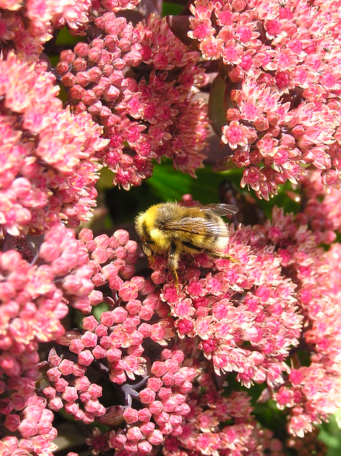 Bumblebee on Sedum 'Purple Emperor'