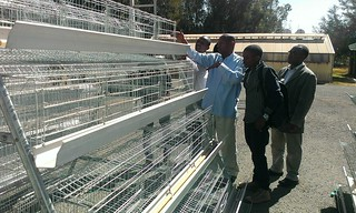 Improved poultry cage with hygienic and automatic feeding and watering facility  introduced by LIVES (Photo:ILRI\LIVES)