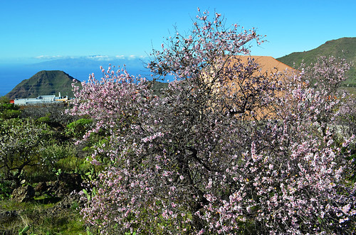 Almond tree in bloom, Santiago del Teide, Tenerife