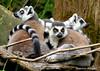 Cluster of Lemurs