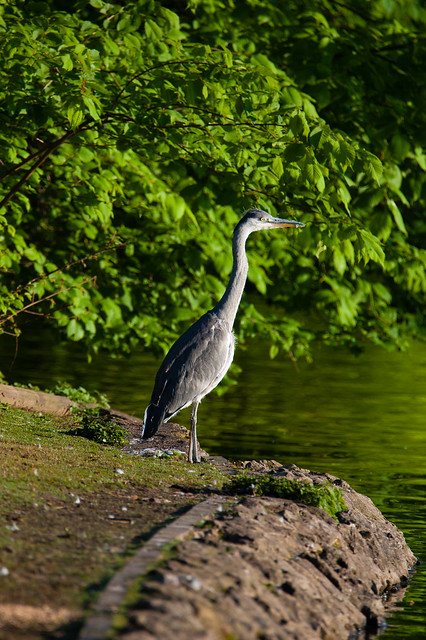 Young heron, West Park lake shore, another view