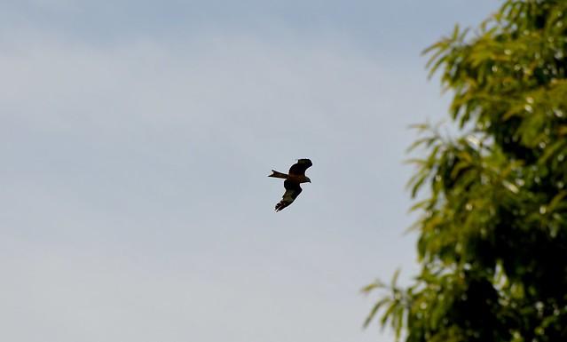 Red Kite another wild bird  (14)