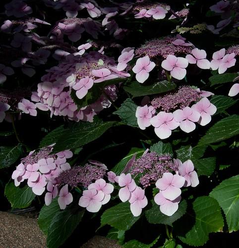 Hydrangea macrophylla 'Tokyo Delight' LG 5-5-13 7314 lo-res