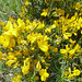 Ulex parviflora, Small-flowered Gorse (Dawn Balmer)