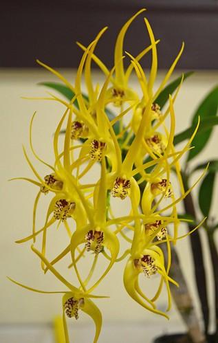 Dendrobium Hilda Poxon