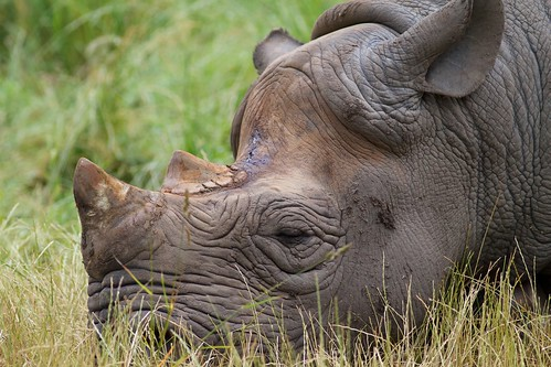 Black Rhino by McShug
