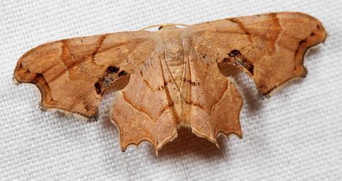 insect nc moth july northcarolina lepidoptera fieldtrip coastalplain bmna uraniidae epipleminae canonefs60mmf28macrousm brownscoopwing medocmountain calledapteryx calledapteryxdryopterata medoc20130710