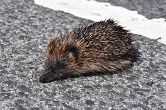 HolderPrickles, the little Hedgehog.