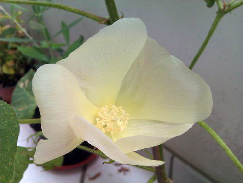 Fiore della pianta del Cotone - Gossypium herbaceum