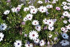 garden cosmos(0.0), oxeye daisy(0.0), dorotheanthus bellidiformis(1.0), annual plant(1.0), flower(1.0), plant(1.0), marguerite daisy(1.0), daisy(1.0), wildflower(1.0), flora(1.0), daisy(1.0), petal(1.0),