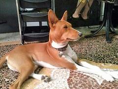 dog breed, animal, dog, pet, ibizan hound, carnivoran, basenji,
