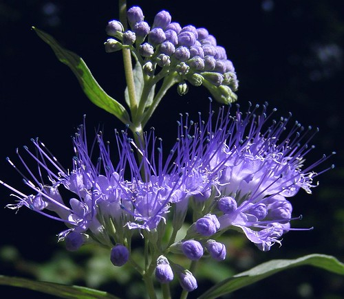 2013_0823Blue-Bush0006 by maineman152 (Lou)