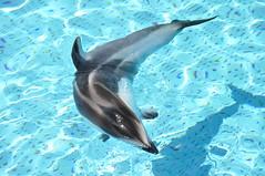 short-beaked common dolphin(0.0), stenella(0.0), animal(1.0), marine mammal(1.0), common bottlenose dolphin(1.0), marine biology(1.0), dolphin(1.0), striped dolphin(1.0), spinner dolphin(1.0), rough-toothed dolphin(1.0), tucuxi(1.0),