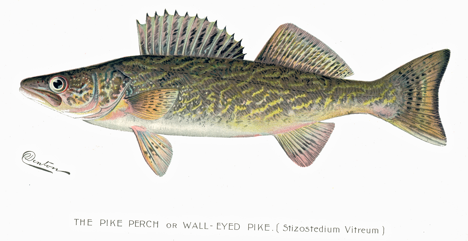 Walleye walleye fish by nys department of for Nys dec fishing
