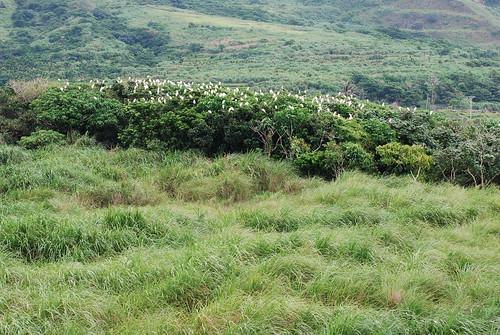 紅頭鷺科鳥類的棲息地。(圖片攝影:鄭漢文)