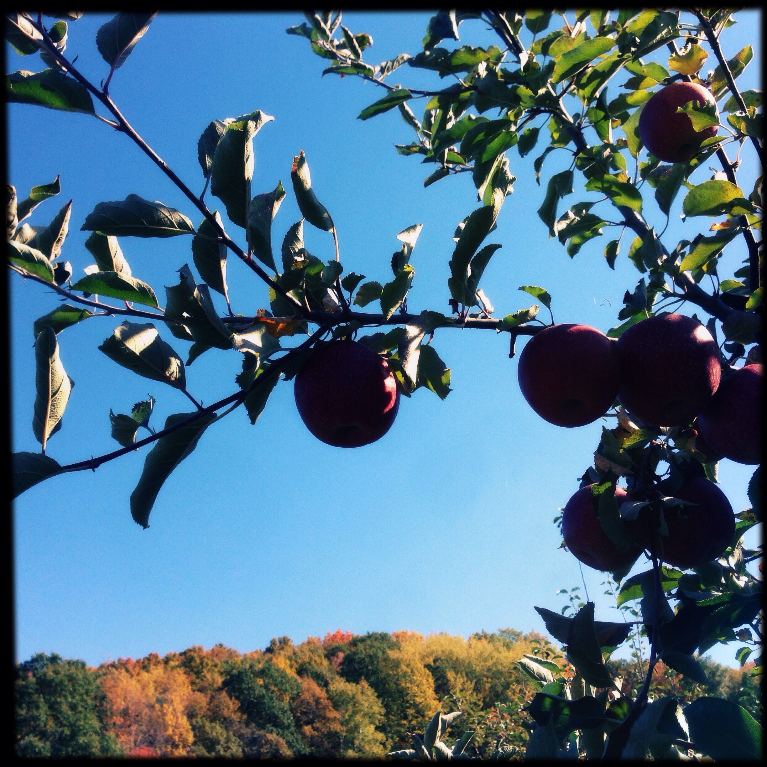 Hick's orchard