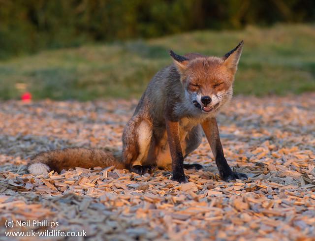 red fox_-9