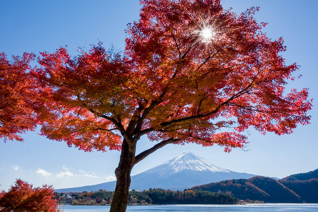 Maple and Fuji