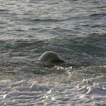 Killer turtle arrives, North Shore, Oahu