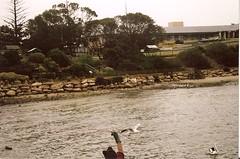 sea gull again