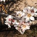 In the neighborhood: Apricot Blossoms - 8