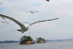 Sea gulls, Matsushima