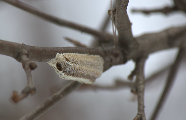Mantis Egg Sack