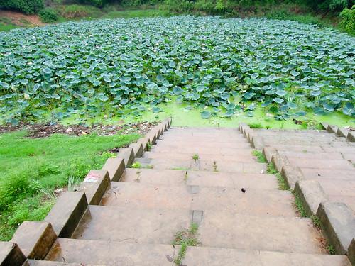india plant pool cycling lotus 2012 印度 eatrip