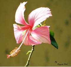 blossom(0.0), flower(1.0), plant(1.0), macro photography(1.0), flora(1.0), chinese hibiscus(1.0), plant stem(1.0), pink(1.0), petal(1.0),