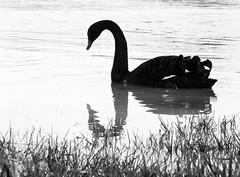 animal, black swan, water bird, swan, monochrome photography, fauna, monochrome, black-and-white, bird,