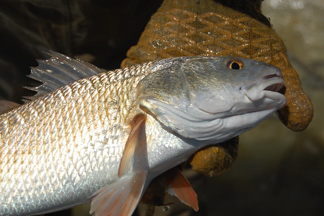 Red drum definition meaning for Sustainable fishing definition