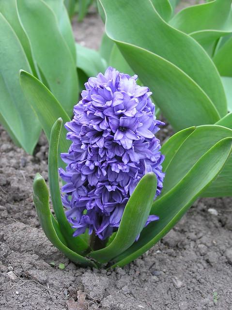 Hyacinthus orientalis 'Blue Jacket'