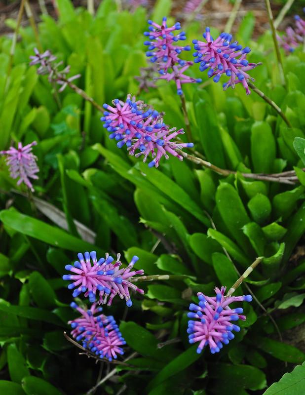 Aechmea gamosepala (Matchstick Plant) (2)