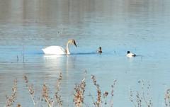 tundra swan (continuing bird, as they say)