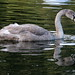 A young swan. 151014 DPP_0012 (Explored) by clavius2