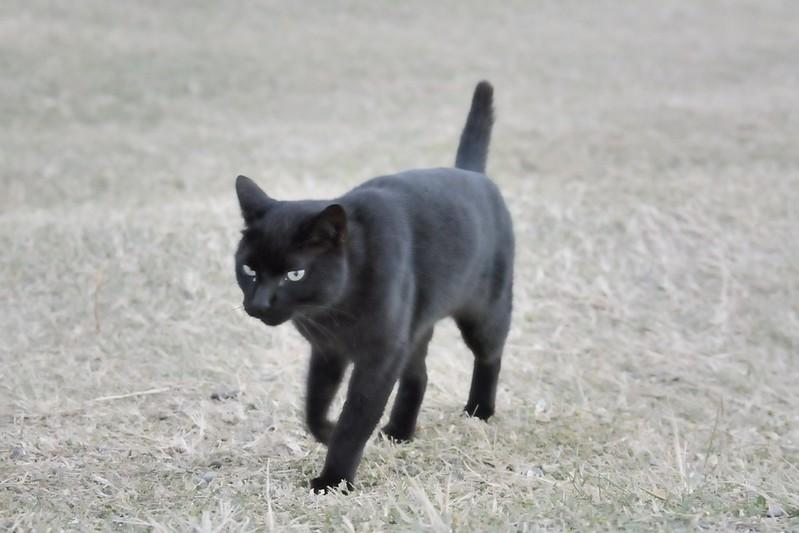 鵝鑾鼻燈塔的黑貓