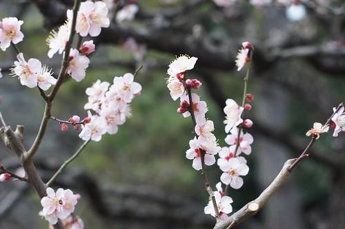 皇居の梅の花