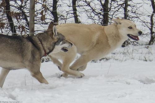 "Snowy: ""Pak me dan papa!"""