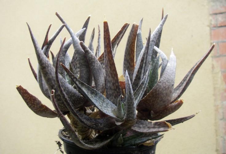 Aloe deltoideodonta 16414670076_a4ba65a6ca_o